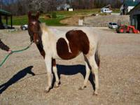 Paint/Pinto - Randolph - Large - Young - Male - Horse