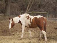 Paint/Pinto - Shila - Extra Large - Adult - Female -