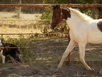 Paint/Pinto - Thunder - Medium - Adult - Male - Horse