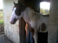 Paint/Pinto - Tonka - Large - Young - Male - Horse
