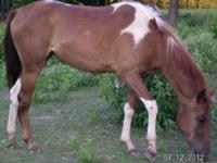 Paint/Pinto - Troy - Large - Adult - Male - Horse Troy