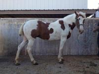Paint/Pinto - Tuck - Large - Adult - Male - Horse Poor