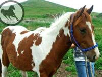 Paint/Pinto - Apache - Large - Young - Male - Horse