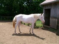 Paint/Pinto - Choctaw - Large - Adult - Female - Horse
