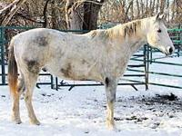 Paint/Pinto - Jingle - Large - Adult - Male - Horse