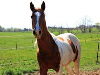 Paint/Pinto - Sioux - Medium - Adult - Female - Horse
