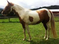 Paint/Pinto - Xavier - Medium - Adult - Male - Horse