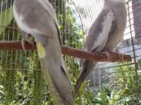 Cockatiels pair male is white face with Cinnamon