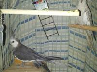 I have 2 Breeding beautiful Cockatiels that needs a