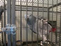 I have a Pair of Proven breeder African gray parrots. I
