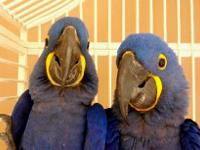 Unrelated pair hyacinth macaw birds available for