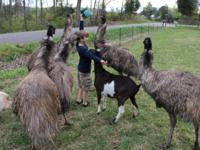 I have a set (guy and female) of grownup Emus available