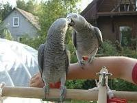 Hand-reared African Grey Parrots available now. All