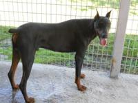 Pair of AKC & & APR signed up Doberman Pinscher. I have