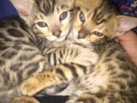 I have a pair of sibling bengals that I would like to