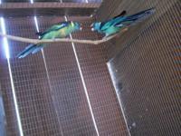 pair Bernard parakeets,ready for next season,5 years