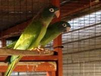 I have a breeding pair of blue crown conures and I also