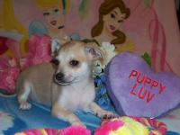 I have a beautiful pair of smooth coat chihuahua's. The