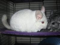 I have a pair of chinchillas that are searching for a