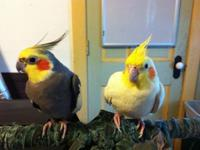 have a pair of bonded cockatiels, about 3-5 years old,