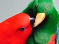 Tame talkative gentle funny adorable pair of Eclectus