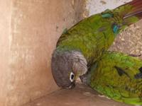 Pair of green cheek conoures for sale not proven for me