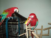 Pair of Green-Winged Macaw parrots available for their