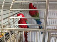 Male and Female Green-Winged Macaw pair for sale!! We