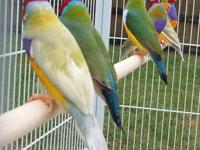 For sale is a bonded pair of Java Rice finches - they