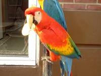 a pair of lovely macaws..they are 5 years old..male and
