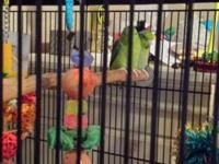 Male/female pair of Parrotlets for sale to excellent