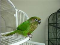 I have a pair of rosifrond conures , healthy and in