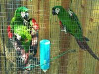 1 breeding pair of severe macaws. NOT tame. About 13-14