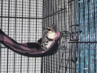I Live in Cumberland, Ky and Have Two Sugar glider for