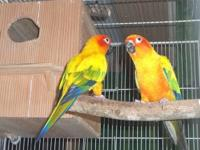 Sun conure pair.. They working in the nest now.. If you