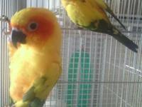 I have a pair of sun conures female is good at laying