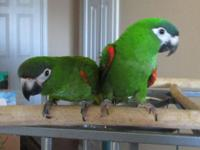 We have a male and female Hahns Macaws. Both are simi