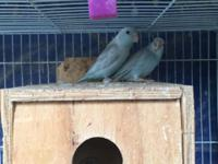 I have a couple of proven pair of parrotlets for sale.