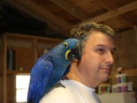 Young pair of Hyacinth Macaws $16900 Proven pair of