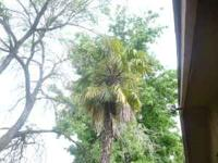 I have two beauiful mature palm trees approximately