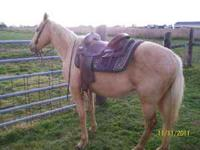 Luke is a Palomino Gelding 7yrs.old,14.2hh,been used as