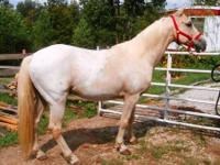 Beautiful palomino appaloosa trail horse. he is