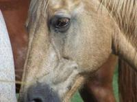 Palomino - Dixie - Large - Adult - Female - Horse Dixie