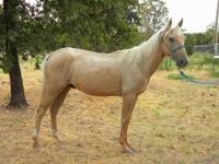 Palomino - Dugan - Medium - Young - Male - Horse Dugan