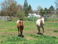 Sheldon is a 2 yr old Palomino QH gelding. 13:2-3 hh