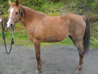Paris is a very nice mare . 15.1 hands registered APHA
