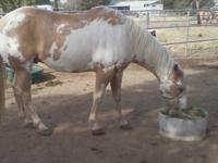 BIG BODIED BEAUTIFUL PALOMINO PAINT GELDING, 11 YR.