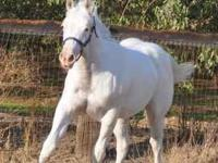 """Mighty Smart N Bootyful"" APHA palomino sabino overo"