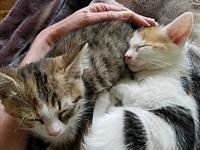 Pammy and Pollyanna-Adopt.Pend's story Kittens are