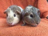Syrup and Pancake are a bonded pair of female American